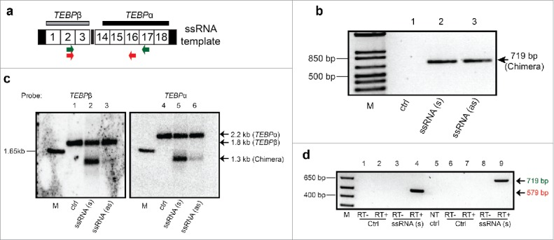 Microinjection of a long chimeric RNA leads to somatic formation of a hybrid TEBP β/α chromosome. (a) Schematic map of injected RNA (1.375 kb): Gray and black horizontal bars denote Southern hybridization probes for TEBP β and TEBP α, respectively; Numbered boxes are MDSs (not to scale); terminal black rectangles indicate telomeres; Locations of PCR primers to detect chimeric products are shown as colored arrows. (b) PCR confirms the formation of hybrid TEBP β/α molecules in the progeny of sense (s) or antisense (as) RNA-injected cells but not uninjected cells (ctrl) (all primer and PCR sequences provided in Supplementary Information). (c) Southern analysis provides direct evidence for the presence of TEBP β/α chimeric DNA molecules in the same cells used in (b). (d) Oligo-dT primed RT-PCR using either pair of primers detects chimeric RNA transcripts in the progeny of injected cells. Sequencing of the larger band confirmed that these RNA molecules do not contain the point substitution in the injected RNA. NT, no template control, RT+/− indicates the presence of reverse transcriptase enzyme; M, marker.