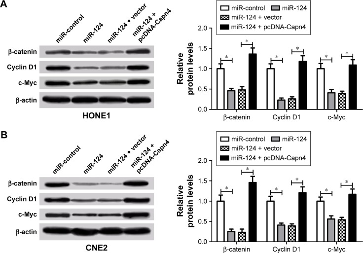 Overexpression of calpain small subunit 1 <t>(Capn4)</t> reversed the inhibitory effect of miR-124 on the Wnt/β-catenin signaling pathway. HONE1 and CNE2 cells were transfected with miR-124 or co-transfected with miR-124 and <t>pcDNA-Capn4</t> ( A and B ). Western blot analysis revealed that Capn4 overexpression reversed the decreased β-catenin, cyclin D1, and c-Myc protein levels caused by the overexpression of miR-124 in HONE1 and CNE2 cells. Data are shown as mean ± standard deviation (n=3). * P
