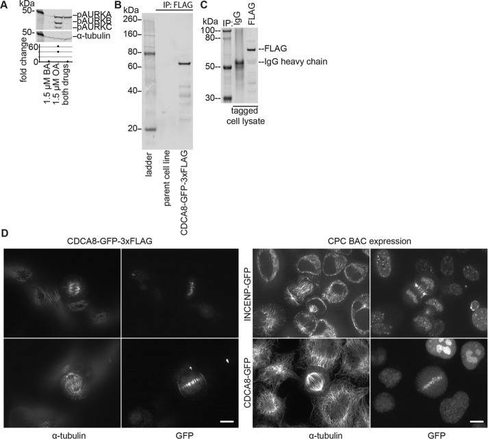 Tagging of CDCA8 in HeLa cells with GFP-3xFLAG. (A) HeLa cells were arrested in mitosis by overnight treatment with <t>STLC</t> and collected via mitotic shake-off, followed by washing with <t>PBS.</t> The indicated drugs were added to the final wash of the cells, after which the cells were lysed with freeze–thaw cycles. Cell lysates were then immunoblotted for pT232-AURK (recognizing pAURKA, pAURKB, and pAURKC) and α-tubulin. The p value between the barasertib- and okadaic acid–treated cells is 0.069; n = 2. (B) Lysates of the parent and tagged cell line were prepared as in A. Magnetic beads preloaded with an antibody against FLAG were used to immunoprecipitate (IP) tagged proteins from the lysates, and the resulting proteins were blotted for FLAG after separation via SDS–PAGE gel electrophoresis; n = 2. (C) Lysates of the tagged cell line were prepared as in A, and IPs were done with beads loaded with antibodies against random IgG or FLAG, followed by blotting for FLAG as in A; n = 2. (D) HeLa cells expressing GFP-tagged CPC were fixed with 4% paraformaldehyde, stained with an antibody against tubulin, and imaged with a spinning-disk confocal microscope at 60× magnification. Scale bars, 10 μm. Cells were imaged on three separate occasions.