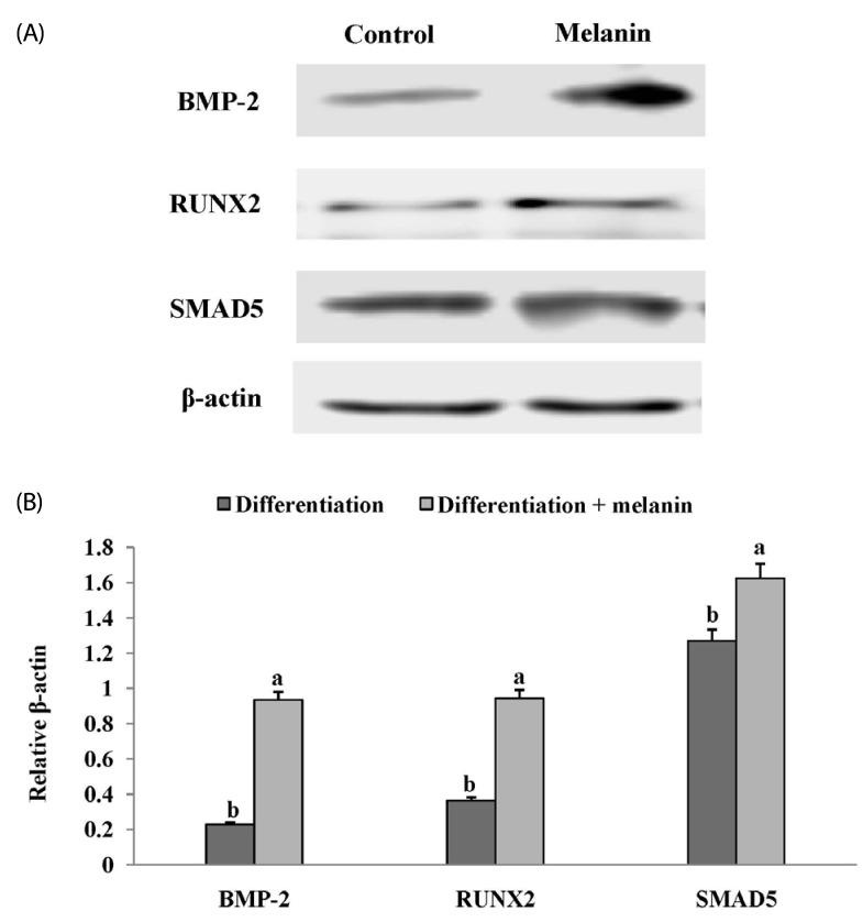 Effects of melanin extracted from Gallus gallus domesticus (GD) on bone morphogenetic protein-2 (BMP) signal pathway in MG-63 cells. Cells were differentiated for 4 days in differentiation medium in the presence or absence of melanin (250 µg/mL). (A) Protein expression of BMP signaling pathway-related markers such as BMP-2, runt-related transcription factor 2 (RUNX2), and small mothers against decapentaplegic homologs 5 (SMAD5) was detected by Western blot. (B) Relative expression was quantified by image J and calculated according to the reference bands of β-actin. Each value is expressed as mean ± SD (n = 3). Values with different letters were found to be significantly different using th e Duncan's multiple range test ( P