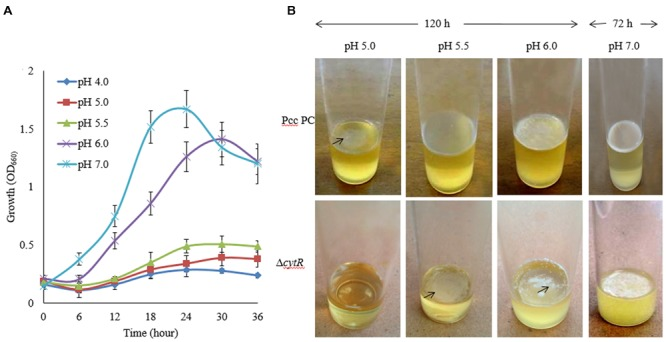 Effect of pH on growth and AL biofilm formation in <t>SOBG</t> broth at <t>27°C.</t> (A) Growth of wild type (Pcc PC1) at indicated pHs. (B) AL biofilm formation by the wild type (Pcc PC1) and the Δ cytR mutant. The values are mean and error bars indicate standard deviations ( ± ) of three independent experiments.
