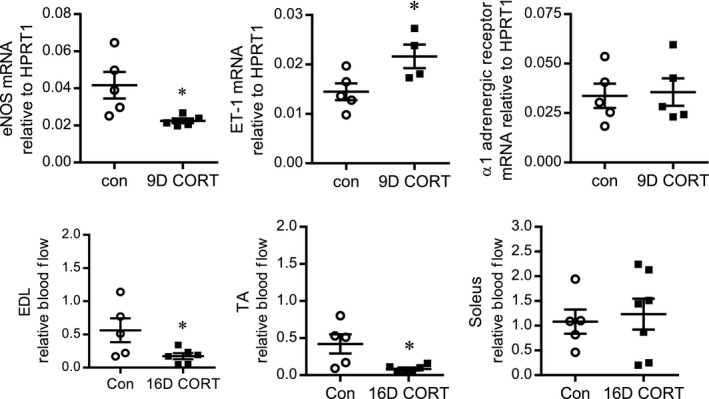 CORT promotes a vasoconstrictor profile within skeletal muscle. RNA was isolated from the TA muscle of control or 9D CORT ‐treated rats and quantified by Taqman qPCR to assess the mRNA levels of eNOS (A), ET ‐1 (B), and the α 1Α‐adrenergic receptor (C), expressed as 2 −ΔCt relative to the housekeeping gene hypoxanthine‐guanine phosphoribosyltransferase‐1 ( HPRT 1). * P