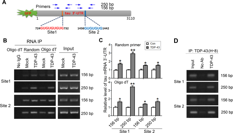 TDP-43 acts on the (UG)n elements of tau mRNA 3΄-UTR. ( A ) Schematic of (UG)n elements in tau mRNA 3΄-UTR. Two sets of primers specific to (UG)n elements, as indicated for amplifying the cDNA derived from tau mRNA 3΄-UTR. ( B and C ) TDP-43 acts on two (UG)n elements in tau mRNA 3΄-UTR. pEGFP/tau 3΄-UTR was co-transfected with pCI/TDP-43·HA into HEK-293FT cells. TDP-43 was immunoprecipitated with anti-HA. Co-immunoprecipitated 3΄-UTR of tau mRNA covering (UG)n element 1 (Site 1) or (UG)n element 2 (Site 2) with TDP-43 was reverse-transcribed to cDNA with random primer or <t>oligo-dT</t> 18 and amplified by PCR with two sets of primers. The RT-PCR products from RNA-IP or cell lysate (Input) were separated by agarose electrophoresis (B) and quantitated by densitometry (C). ( D ) Physiological TDP-43 acts on tau mRNA 3΄-UTR. TDP-43 was immunoprecipitated from SH-SY5Y cells with anti-TDP-43 (H-8). Co-immunoprecipitated 3΄-UTR of tau mRNA with TDP-43 was reverse-transcribed to cDNA with oligo-dT 18 and amplified by PCR with two sets of primers. The RT-PCR products from RNA-IP or cell lysate (Input) were separated by agarose electrophoresis. The data are presented as mean ± SD ( n = 3). * P