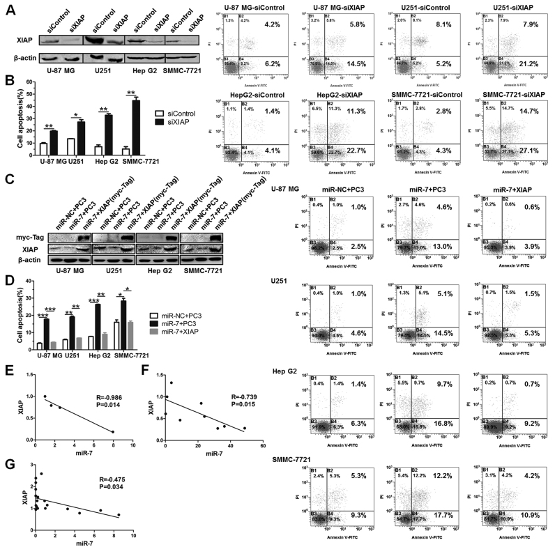 Further validation of miR-7-XIAP axis. ( A ) XIAP knock-down by siRNA (siXIAP) in four cancer cell lines. Western blot assays 48 h after transfection. β-actin was utilized as a loading reference. ( B ) Percent cell apoptosis of cancer cells for the aforementioned sets determined by FACS assay after 48 h treatment of TRAIL. t -test, mean ± SD, n = 3. ( C ) Western blot analysis determining the changes of XIAP expression level in control, miR-7 with/without XIAP-treated sets. ( D ) Percent cell apoptosis of cancer cells for the aforementioned sets. One-way ANOVA, mean ± SD, n = 3. ( E ) The relationship between miR-7 and XIAP in GBM cell lines (U87, U251, A172, T98G) was evaluated using qRT-PCR assay. ( F ) The relationship in four hepatocellular carcinoma cell lines (Hep G2, SMMC-7721, HuH-7 and MHCC-97H) and five prostatic carcinoma cell lines (PC-3, PC-3M, DU 145, 22Rv1 and LNCaP). ( G ) The relationship in GBM clinical samples. * P