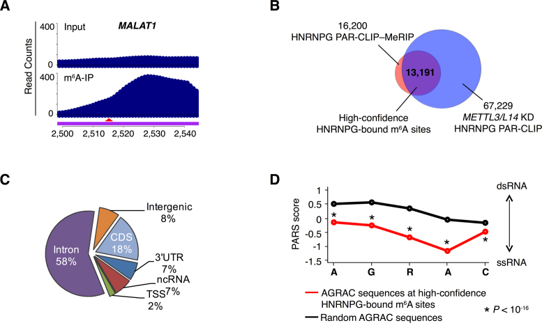 HNRNPG binds m 6 A-modified RNAs transcriptome-wide. ( A ) PAR-CLIP–MeRIP input and IP (m 6 A-IP) read counts in a region of the MALAT1 transcript. The red arrowhead indicates the m 6 A site at position 2,515. ( B ) Identification of high-confidence HNRNPG-bound m 6 A sites (purple) as the overlap between m 6 A-modified HNRNPG binding sites, identified by HNRNPG PAR-CLIP–MeRIP (pink) and m 6 A methyltransferase-dependent HNRNPG-bound AGRAC sites, identified by HNRNPG PAR-CLIP in m 6 A methyltransferase ( METTL3 and METTL14 ) knockdown HEK293T cells (blue). ( C ) Regional distribution of high-confidence HNRNPG-bound m 6 A sites. ( D ) Comparison of the structure of AGRAC sequences at high-confidence HNRNPG-bound m 6 A sites (red) versus random AGRAC sequences (black) in human polyadenylated RNAs, based on parallel analysis of RNA structure (PARS) data ( 48 ). The x -axis denotes nucleotide position; the y -axis shows the PARS score. Positive PARS scores indicate double-stranded conformation; negative scores indicate single-stranded conformation. P –value, Mann–Whitney U test.