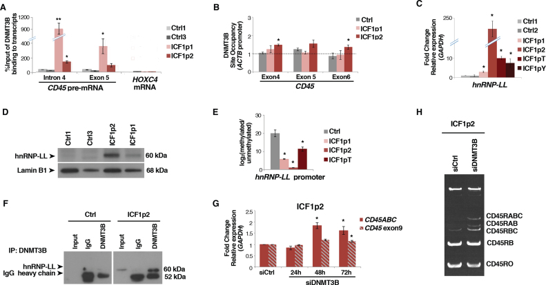 DNMT3B modulates exon 4–5–6 skipping by physically interacting with hnRNP-LL and CD45 pre-mRNA. ( A ) Native <t>RNA</t> immunoprecipitation assay (RIP-qPCR) shows DNMT3B interaction with CD45 pre-mRNA in control and ICF1 samples. Binding to HOXC4 mRNA is reported as negative control; ( B ) DNMT3B enrichment at DNA (exons 4, 5 and 6) of CD45 gene by ChIP assay; ( C and D ) Expression level of hnRNP-LL in ICF1 samples and controls by qPCR and western blot, respectively; ( E ) CpG methylation level [log2 (methylated/unmethylated)] at hnRNP-LL promoter in ICF1 samples; ( F ) DNMT3B and hnRNP-LL physically interact in ICF1p2 sample as shown in co-immunoprecipitation experiments; ( G ) Expression level (qPCR) of CD45RABC and the constitutive exon9 using isoform specific oligonucleotides upon siDNMT3B and control siRNAs transfection; ( H ) Semi-quantitative <t>PCR</t> amplification of CD45 splicing isoforms in overexpressing-hnRNP-LL ICF1p2 sample upon siDNMT3B and control siRNAs transfection. * P -adj