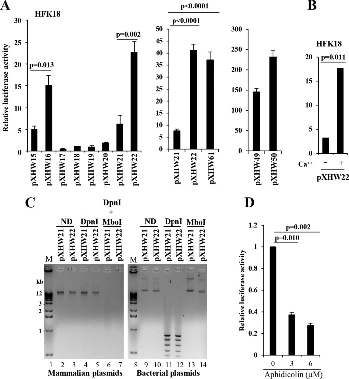Characterization of the late-promoter region of HPV18. (A) The strong activity of a P 811 promoter region is dependent on CCW orientation of the HPV18 Ori. HPV18-infected human foreskin keratinocytes (HFK18), differentiated by adding 2 mM calcium, were transfected for 48 h with each of the indicated plasmids. (A) Renilla luciferase plasmid pRL-TS was <t>cotransfected</t> as an internal control. The supernatant of the cell lysates from each transfection was examined for dual luciferase activities. Relative promoter activity levels were calculated by dividing the value representing the light unit readings from a testing promoter- firefly luciferase reporter by the value representing the light unit readings from the Renilla luciferase reporter (left panel). Plasmid pXHW61 directly derived from pXHW21 has the HPV18 Ori flipped into a CCW orientation (middle panel). Plasmid pXHW21-derived pXHW49 and pXHW22-derived pXHW50 have their corresponding promoter regions replaced by the SV40 early promoter derived from the pGL3 control vector (right panel). The data shown are means ± standard deviations (SD) of results from two to three independent experiments. P values were calculated using Student's t test. (B) The P 811 promoter activity depends on keratinocyte differentiation. HFK18 cells with (+) or without (−) 2.0 mM calcium treatment were transfected with pXHW22 for 48 h and then analyzed for their luciferase activity. The data shown are from results from one of two experiments, with means ± SD calculated from triplicate samples. (C) Opposite orientations of the HPV18 Ori do not affect plasmid <t>DNA</t> replication in HFK18 cells. HPV18-infected HFK cells, differentiated by 2 mM calcium, were transfected with pXHW21 (Ori in CW orientation) or pXHW22 (Ori in CCW orientation) for 48 h. Replicated plasmid DNA isolated from the cells and the original input bacterial plasmid DNA were compared for their sensitivity to DpnI (digesting only methylated bacterial plasmid DNA) and MboI (digesting only unmethylated bacterial and replicated plasmid DNA). Because the input bacterial DNA is methylated at the adenine of GATC sequences, it is sensitive to digestion by DpnI but resistant to digestion by MboI (right panel), and because human cells lack adenine methylase activity, the newly replicated DNA lacking adenine methylation is thus resistant to DpnI digestion but susceptible to MboI digestion (left panel). ND, no digestion with a restriction enzyme. The digested DNA samples were then resolved in a 1% agarose gel and imaged by ethidium bromide staining. Lanes 1 and 8 represent DNA markers (M). (D) Aphidicolin, a DNA polymerase inhibitor, blocks CCW orientation-dependent HPV18 late promoter activity. The sensitivity of Ori-directed DNA replication and HPV18 late promoter activity in plasmid pXHW22 to aphidicolin at different doses was analyzed in the HFK18 cells cotransfected with plasmids pXHW22 and pRL-SV40 (an internal control). The supernatant of the cell lysates was examined for dual luciferase activities, and the relative promoter activity levels were calculated as described for panel A.