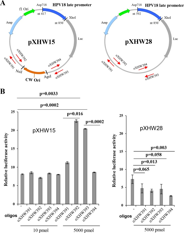 Strand-biased effect on HPV18 Ori-directed DNA replication and HPV18 late promoter activity revealed by a single-stranded, 70-nt-long DNA oligonucleotide. (A) The maps of plasmids pXHW15 (left panel) and pXHW28 (right panel) and the relative positions and orientations (arrow directions) of paired oXHW391/oXHW392 and oXHW393/oXHW394 oligonucleotides. (B) Effects of individual oligonucleotides (oligos) on promoter activity in pXHW15- and pXHW28-transfected HFK18 cells. HFK18 cells were cotransfected with pXHW15 or pXHW28 at the indicated doses of individual oligonucleotides, along with plasmid pRL-TS, and were cultured in a complete culture medium supplemented with 2.0 mM calcium. Dual luciferase activities were analyzed and calculated at 48 h after transfection.