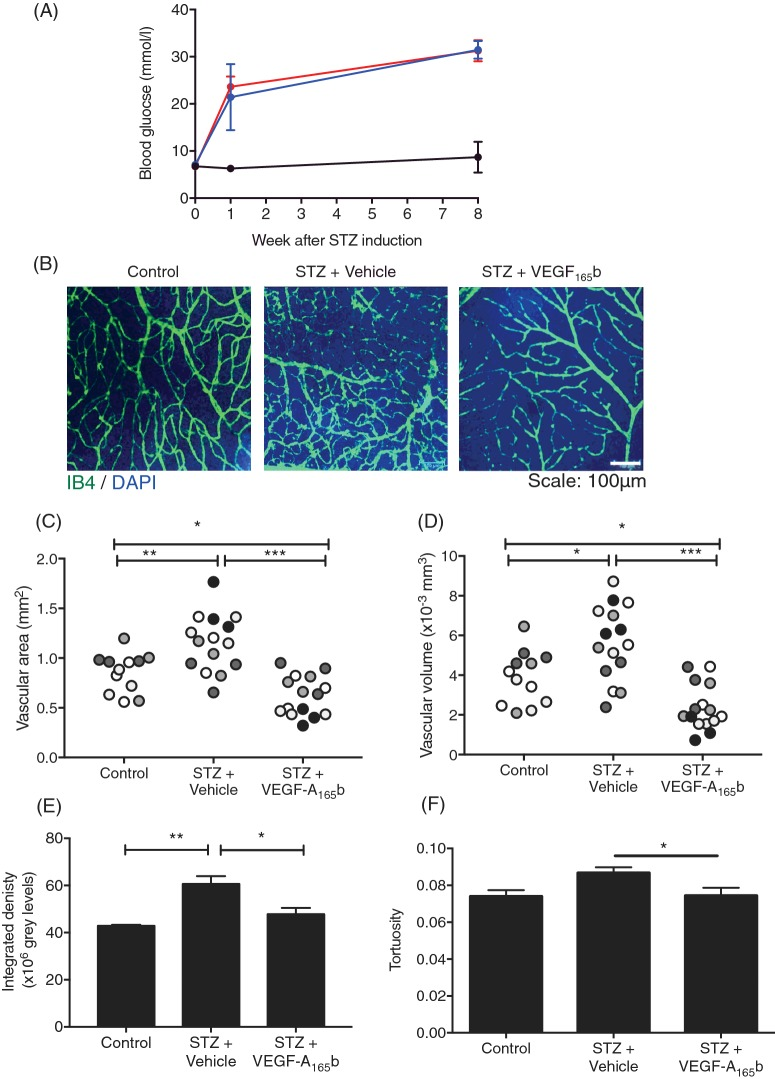 VEGF-A 165 b prevents diabetes-induced increase in retinal vascular density ( A ) STZ (50 mg/kg, i.p.) was used to induce diabetes in Sprague–Dawley rats ( n =10). Saline was injected in vehicle controls (i.p., n =4). Diabetic rats were either treated with VEGF-A 165 b (20 ng/g, biweekly i.p., n =5) or saline (biweekly i.p., n =5). All groups were weighed weekly and rats with a blood glucose ≥15 mmol/l were deemed diabetic. ( B ) Rats were killed at 8 weeks and retinae were stained for blood vessels using IB4 and DAPI. Vascular density was calculated from three parts of the retina in each animal (denoted by shading) using Imaris software, measured as both area ( C ) and volume ( D ) occupied by vasculature in a 2D and 3D plane respectively. This was corroborated by measuring integrated density on Fiji software ( E ). Retinae were also assessed for vessel straightness using Imaris software as a marker for vessel tortuosity ( F ); one-way ANOVA, Tukey's post-hoc test, * p