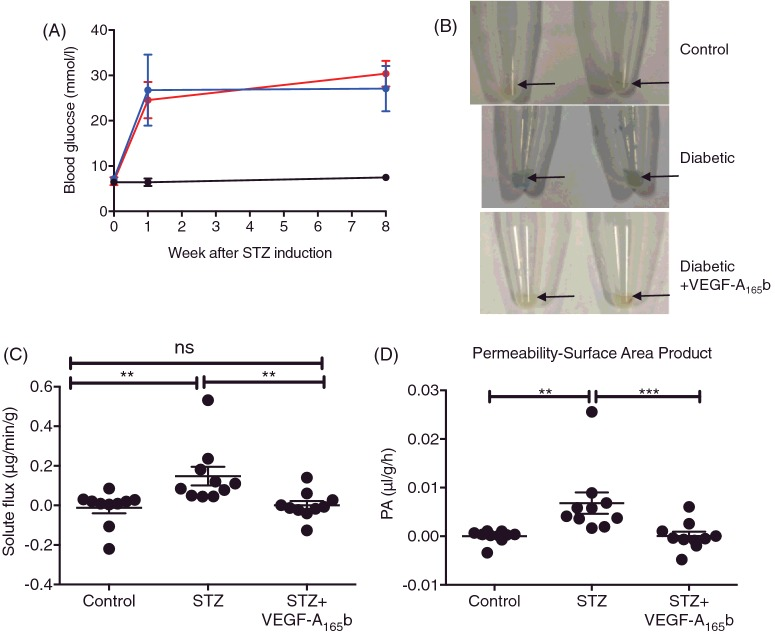 Systemic VEGF-A 165 b prevents diabetes-induced increase in solute flux ( A ) Sprague–Dawley female rats were induced with diabetes using STZ (50 mg/kg i.p., n =10) and control rats ( n =5) were injected with saline (i.p.) on day 0. After 4 days, blood glucose was tested and blood glucose ≥ 15mmol/l were deemed diabetic. ( B ) Diabetic rats were treated with either vehicle (saline, biweekly i.p., n =5) or VEGF-A 165 b (20 ng/g, biweekly i.p., n =5). At 8 weeks post-STZ induction, Evans Blue (EB, 45 mg/kg) was injected i.v. into terminally anaesthetized rats. Plasma was collected every 15 minutes for 2 h, after which, animals were killed and retinae were excised. ( C ) Retinae were weighed and EB was extracted using formamide, allowing EB solute flux (C) and permeability surface area product ( D ) to be calculated; Kruskal–Wallis test with Dunn's post-hoc test, ** p