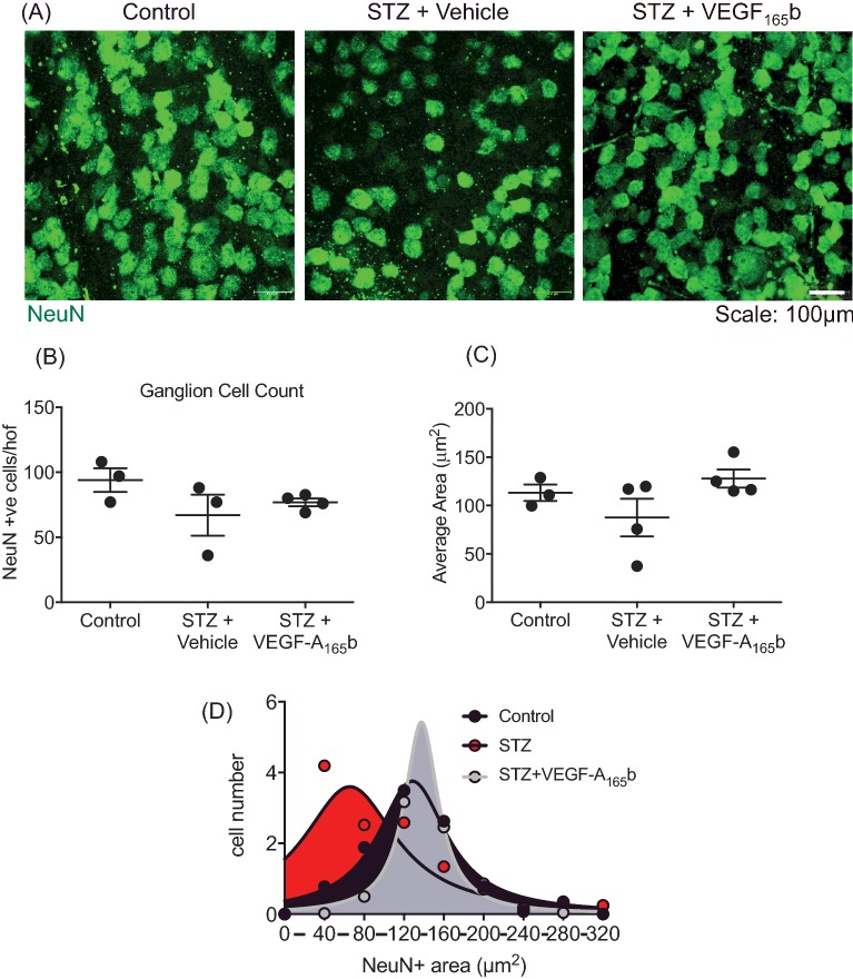 VEGF-A 165 b prevents retinal ganglion cell shrinkage ( A ) Sprague–Dawley rats induced with diabetes were treated with vehicle (saline i.p., n =4) or VEGF-A 165 b (20 ng/g i.p., n =4) biweekly for 8 weeks. Animals were then killed and retinae excised and ( A ) stained for RGC marker NeuN. RGC NeuN+ staining was counted ( B ) and areas measured ( C ). ( D ) The frequency of NeuN+ areas (50 μm bins) was plotted against area, and Lorentzian curve fitted, and curve fit compared with an F -test; P