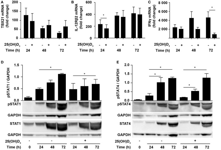 Vitamin D does not prevent Th1 differentiation. Relative TBX21 (A) , IL-12Rβ2 (B) , and IFNγ (C) expression in T cells activated for 24, 48, or 72 h in Th1-polarizing medium in the presence or absence of 100 nM 25(OH)D 3 . Data are normalized to unstimulated T cells (mean + SEM, n = 6). Representative Western blots (lower panel) and quantification (upper panel) of phosphorylated STAT1 and total STAT1 (D) and phosphorylated STAT4 and total STAT4 (E) with GAPDH as loading control from T cells activated for 0, 24, 48, and 72 h in Th1-polarizing medium in the presence or absence of 100 nM 25(OH)D 3 . Western blots including protein ladder are shown in the Figure S2 in Supplementary Material.