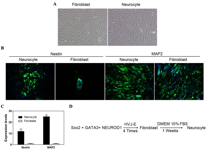 Direct neurogenic reprogramming. (A) Induced neurocytes exhibited typical neuron morphology with soma, dendrites and axons (magnification, ×100). (B) Nestin and MAP2 markers were identified by immunofluorescence staining (magnification ×100). (C) Reverse transcription-quantitative polymerase chain reaction analysis of MAP2 and nestin expression levels in differentiated iPS cells. (D) Procedure of direct neurogenic reprogramming. Data are expressed as mean ± standard deviation (n=3 in each group). *P