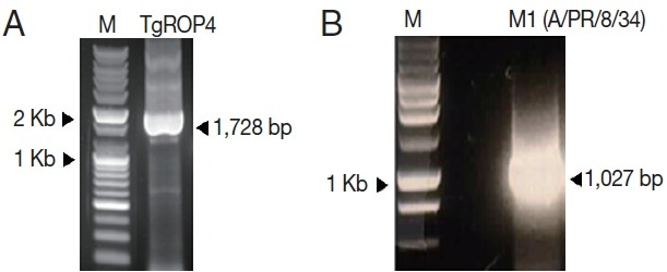 PCR amplification of T. gondii ROP4 (A) and influenza M1 genes (B). T. gondii ROP4 (1,728 bp) gene was RCR-amplified from cDNA synthesized using a Prime Script 1st Strain cDNA Synthesis Kit using total RNA extracted from T. gondii RH. Influenza M1 gene was PCR amplified from total RNA extract from influenza virus (A/PR/8/34). M, DNA marker; TgROP4, T. gondii ROP4; M1, influenza M1.