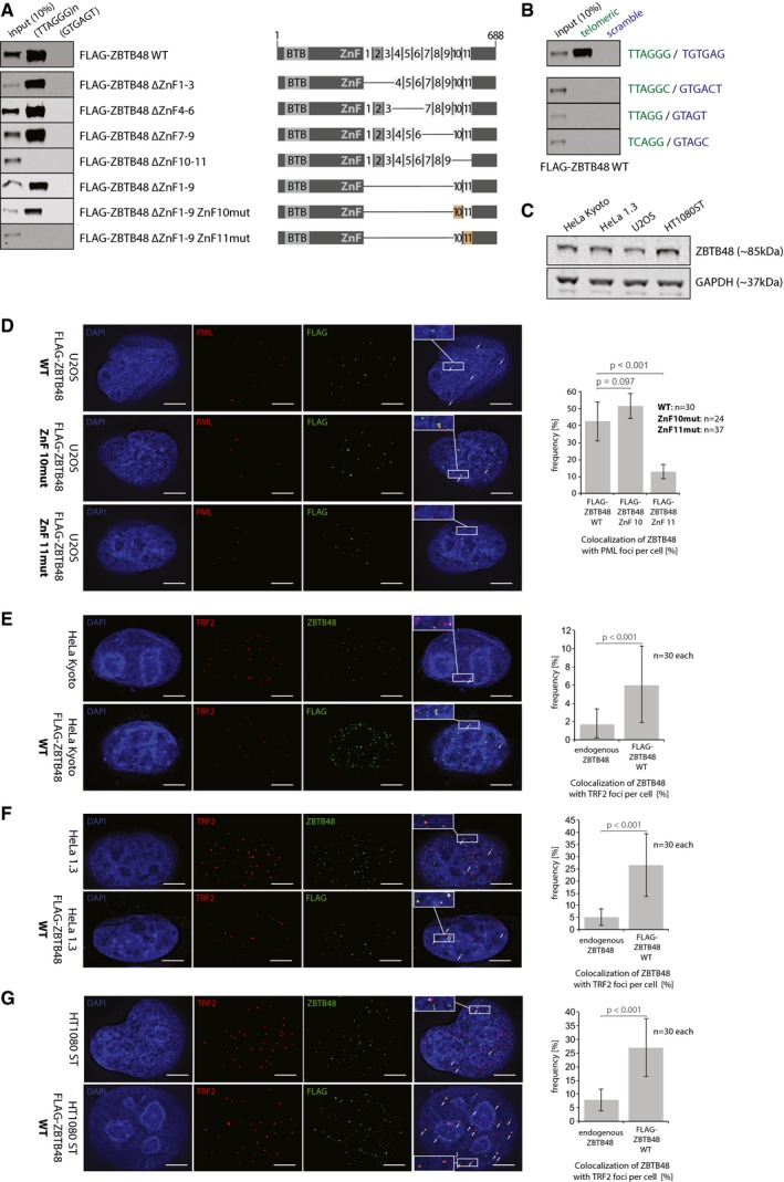 ZBTB48 ZnF11 is necessary to bind to telomeres Sequence‐specific DNA pull‐downs with either telomeric (TTAGGG) or a control sequence (GTGAGT) for FLAG‐ZBTB48 WT, domain deletion constructs for different zinc finger and combinations of deletion constructs with ZnF10 or 11 point mutants. Domain structures are indicated on the right. Sequence‐specific DNA pull‐downs for FLAG‐ZBTB48 WT and ZnF11 point mutant for telomeric repeat sequences of different phyla (green) and their respective scrambled controls (blue). Protein expression analysis of ZBTB48 by Western blot for the cell lines used in this study. GAPDH serves as a loading control. IF stainings for exogenous FLAG‐ZBTB48 WT and point mutants for ZnF10 and ZnF11 in U2OS cells. The same analysis as in Fig 1 E was performed and average co‐localization frequencies are shown ( n = 24–37 cells). Co‐localization analysis of endogenous ZBTB48 or exogenous FLAG‐ZBTB48 WT with TRF2 in HeLa cells by immunofluorescence (IF) staining. A representative image illustrating the co‐localization between ZBTB48 or FLAG‐ZBTB48 WT (green) and TRF2 (red) as a marker for telomeres is shown with DAPI (blue) used as a nuclear counterstain. Co‐localization events are indicated by white arrows. The quantification of frequency of co‐localization events (right) was done after 3D reconstruction of the acquired z ‐stacks ( n = 30 cells). Co‐localization analysis of endogenous ZBTB48 or exogenous FLAG‐ZBTB48 WT with TRF2 in HeLa 1.3 cells by immunofluorescence (IF) staining analogous to (E) ( n = 30 cells). Co‐localization analysis of endogenous ZBTB48 or exogenous FLAG‐ZBTB48 WT with TRF2 in HT1080 super‐telomerase cells by immunofluorescence (IF) staining analogous to (E) ( n = 30 cells). Data information: (D–G) Scale bars represent 5 μm. Error bars indicate standard deviations, and P ‐values are based on Student's t ‐test. Source data are available online for this figure.