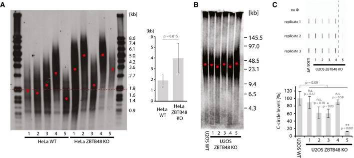 ZBTB 48 is a negative regulator of telomere length Terminal restriction fragment (TRF) analysis for each five independent HeLa WT and HeLa ZBTB48 KO clones at passage 20. The average telomere length was determined from the telomeric distribution (left) and used for average quantification of WT vs. KO clones (right). Average telomere length is indicated for all WT samples (dotted line) and individually for all samples (red dots). Error bars indicate standard deviations, and the P ‐value is based on Student's t ‐test. TRF analysis using pulsed‐field gel electrophoresis (PFGE) of parental U2OS WT cells compared to five independent U2OS ZBTB48 KO clones at passage 37. Average telomere length is indicated for all WT samples (dotted line) and individually for all samples (red dots). Quantification of C‐circles in U2OS WT cells compared to five independent U2OS ZBTB48 KO clones. C‐circle reactions were carried out and spotted in triplicate (top), and average quantifications are displayed (bottom). No Φ indicates negative control reactions without the ΦDNA polymerase. 15 ng DNA was used as input material per reaction. The dashed line indicates cropping of the membrane between KO clones 4 and 5. Error bars indicate standard deviations, and P ‐values are based on Student's t ‐test with * indicating P