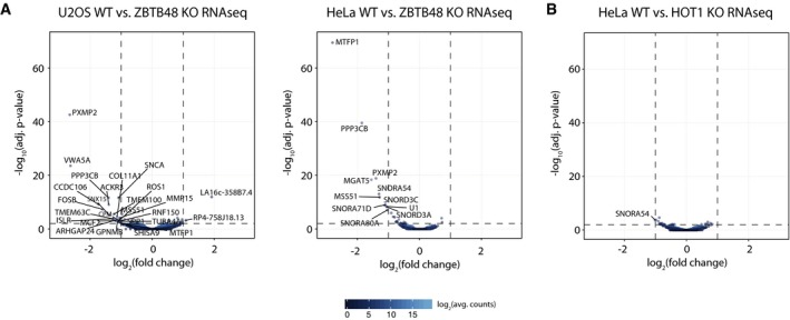 ZBTB48 acts as a transcription factor in contrast to HOT1 Differential expression analysis of the RNA sequencing (RNAseq) gene quantitation, comparing each five WT and ZBTB48 KO clones for U2OS (left) and HeLa (right). Cut‐offs for significant differential expression were set to log 2 (fold change) > |1| and −log 10 (adjusted P ‐value) > 2 (FDR
