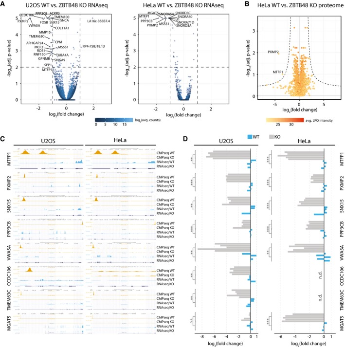 ZBTB48 is a transcriptional activator Differential expression analysis of the RNA sequencing (RNAseq) gene quantitation, comparing each five WT and ZBTB48 KO clones for U2OS (left) and HeLa (right). Cut‐offs for significant differential expression were set to log 2 (fold change) > |1| and −log 10 (adjusted P ‐value) > 2 (FDR