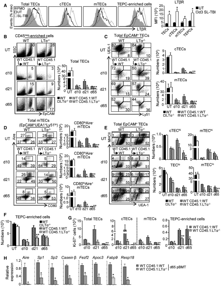 LT α is critical for TEC regeneration during the course of BMT Expression level of LTβR protein in total TECs, cTECs, mTECs, and TEPC‐enriched cells from the thymus of UT WT mice ( n = 6) and at d3 SL‐TBI ( n = 6) was analyzed by flow cytometry. FMO: Fluorescence Minus One. Flow cytometry profiles and numbers of total TECs (B); cTECs, mTECs (C); mTEC subsets (D); cTEC hi , mTEC hi , TEC lo , mTEC lo (E); and TEPC‐enriched cells (F) were analyzed in CD45 neg ‐enriched cells by AutoMACS from the thymus of UT WT and LTα −/− mice or in WT CD45.1:WT and WT CD45.1:LTα −/− chimeras at d10, d21, and d65 upon BMT. Numbers of total proliferating Ki‐67 + TECs, cTECs, mTECs, and TEPC‐enriched cells at the indicated time points. The expression of mRNAs coding for Aire , Aire ‐induced TRAs ( Sp1 and Sp2 ); Aire ‐independent TRA ( casein β ); Fezf2 and Fezf2 ‐induced TRAs ( Apoc3 , Fabp9, and Resp18 ) was measured by qPCR in CD45 − thymic stromal cells from WT CD45.1:WT and WT CD45.1:LTα −/− mice at d65 after BMT. Significance relative to WT CD45.1:WT chimeras. Data information: Data are shown as mean ± SEM and are pooled of three independent experiments with similar results ( n = 3–5 mice per group). * P