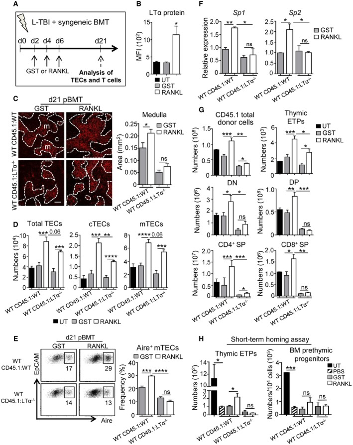 RANKL boosts TEC regeneration and de novo thymopoiesis in an LT α‐dependent manner upon BMT Experimental setup: WT CD45.1:WT and WT CD45.1:LTα −/− chimeras were treated with GST or RANKL‐GST proteins at d2, d4, and d6 after BMT and TEC regeneration and T‐cell reconstitution were analyzed at d21 after BMT. Expression level of LTα protein in thymic LTi cells in UT mice or treated with GST or RANKL‐GST. Thymic sections from WT CD45.1:WT and WT CD45.1:LTα −/− mice treated with GST and RANKL at d2, d4, and d6 after BMT were stained for the expression of K14 at d21 pBMT. The histogram shows quantifications of medullary areas. m and c denote the medulla and the cortex, respectively. Twenty sections were quantified for each condition; scale bar: 100 μm. Numbers of total TECs, cTECs, and mTECs (D) and flow cytometry profiles of Aire + mTECs in total EpCAM + TECs (E). Expression of mRNAs coding for TRAs ( Sp1 and Sp2 ) in CD45?thymic stromal cells analyzed by qPCR. Numbers of total cells and thymocyte subsets of CD45.1 donor origin analyzed in the thymus. Numbers of ETPs of CD45.1 donor origin in the thymus and prethymic progenitors in the BM from CD45.2 WT or LTα −/− recipients 48 h after i.v. injection of CD45.1 BM cells. Data information: Data are shown as mean ± SEM and are pooled of three independent experiments with similar results ( n = 3–5 mice per group). * P