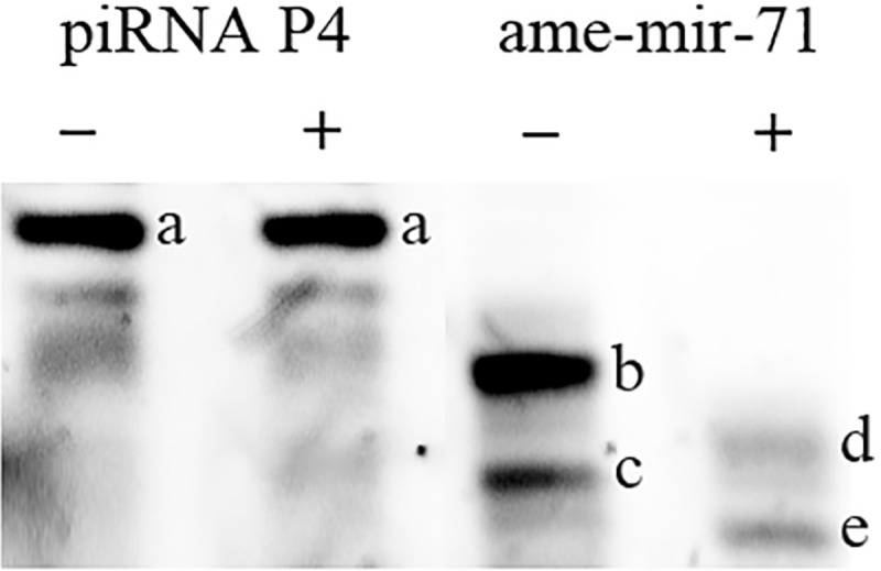 —Northern blot analysis of 3′ terminal ribonucleotide modifications. A small <t>RNA</t> sample purified from 96-h drone larvae was either subjected (+) or not subjected (−) to beta-elimination. Northern blots were probed for the predicted <t>piRNA</t> P4 ( supplementary table S2 , Supplementary Material online) and ame-mir-71. Beta-elimination did not affect the migration rate of the predicted piRNA, but did induce a faster migration of ame-mir-71 indicating that the former is modified at the 3′ end. ( A ) piRNA P4, unaltered after beta-elimination, ( B ) ame-mir-71, ( C ) short ame-mir-71 isomiR, ( D ) shortened ame-mir-71 after beta-elimination, ( E ) shortened isomiR.