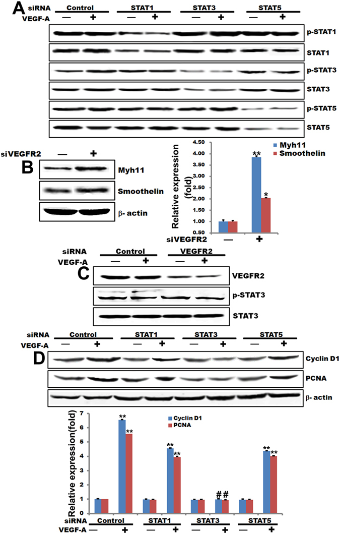 STAT3 acts as a downstream mediator for VEGFR2 activation induced by VEGF-A. ( A ) Western blot analysis of T/G HA-VSMC cells transfected with siRNAs for STAT1, STAT3, or STAT5 and treated with 100 ng/mL VEGF-A for 48 hours. ( B ) Western blot analysis of T/G HA-VSMC cells transfected with siRNAs for Myh11 and Smoothlin and quantified the western blot data by Quantity One software. β-actin is a loading control. ** p