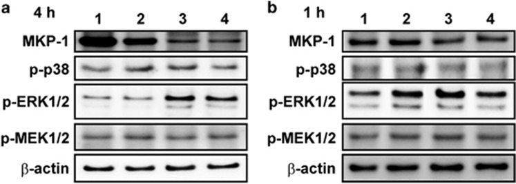 Effects of S100A9 and S100A8/A9 on MKP-1 and MAPK phosphorylation. ( a and b ) Western blots corresponding to MKP-1, p-p38, p-Erk1/2, <t>p-MEK1/2</t> in lung lysates from mice treated with S100A9 or S100A8/A9 for 2 h and then LPS for ( a ) 4 h or ( b ) 1 h. A representative blot is shown; β-actin was used for loading control; n =5 individual lung lysates/group in two independent analyses. Numbers indicate 1: HBSS+PBS, 2: HBSS+LPS, 3: S100A9+LPS, 4: S100A8/A9+LPS.