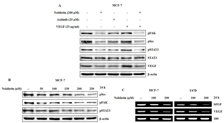 Nobiletin inhibited <t>VEGF-dependent</t> Src/FAK/STAT3 signaling and angiogenic factors. ( A ) Western blotting analysis in MCF-7 cells showing a downregulation of Src/FAK/STAT3 signaling after treatment with 200 μM nobiletin, 25 μM axitinib, and pre-treatment with 25 μg/mL recombinant human VEGF followed by treatment with nobiletin; ( B ) Concentration-dependent inhibition of Src/FAK/STAT3 signaling by nobiletin using western blotting analysis; ( C ) <t>RT-PCR</t> analysis showing the inhibition of angiogenic factors after treatment with nobiletin for 24 h.