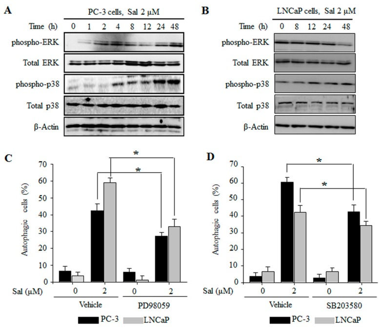 The ERK and p38 MAPK pathways are involved in the regulation of salinomycin-induced autophagy in prostate cancer cells. ( A , B ) ERK and p38 MAPK protein expression. ( A ) PC-3 cells. ( B ) LNCaP cells. Cells were treated with 2 µM salinomycin for the indicated times. After treatment, total cell lysates were subjected to SDS-PAGE for Western blot analysis; ( C ) the effect of <t>PD98059</t> on salinomycin-induced autophagy; ( D ) the effect of SB203580 on salinomycin-induced autophagy. Cells were pretreated with 10 µM PD98059 or 10 µM SB203580 for 1 h, and acridine orange (AO) stained cells were evaluated by flow cytometry. All data were representative of at least three independent experiments. Data were shown as the mean ± SD. * p