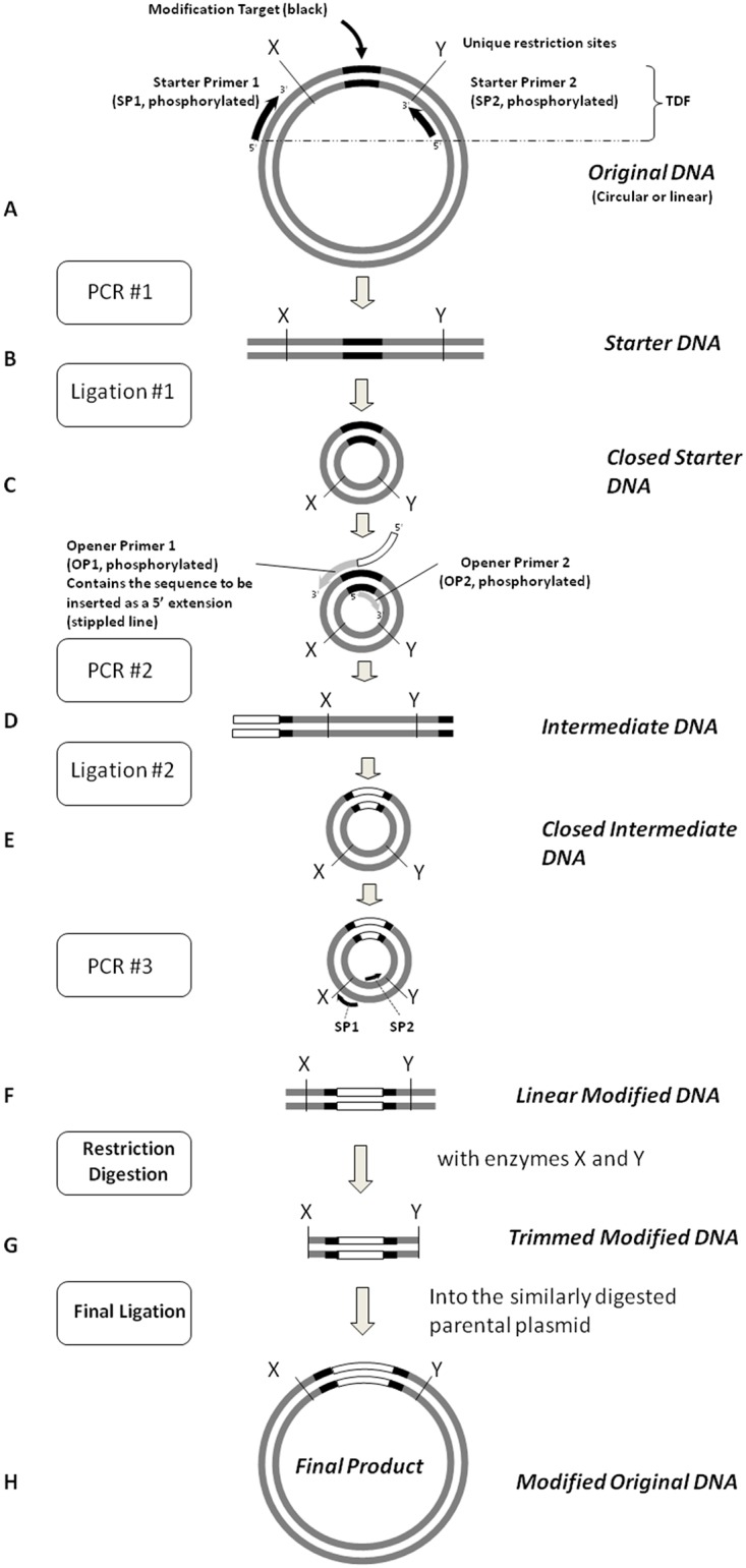 The URMAC method. This illustration depicts a hypothetical insertion within a Modification Target (black lines) in the Original DNA plasmid. PCR #1 generates the Starter DNA copy of the Modification Target including the flanking unique restriction sites, X and Y. It is produced by a thermostable DNA polymerase using the Starter Primers , SP1 and SP2 (black arrows). The Starter DNA is circularized with <t>T4</t> DNA ligase to generate the Closed Starter DNA . The Closed Circular DNA serves as the template for PCR #2, directed by the Opener Primers , OP1 and OP2, to produce the mutated Intermediate DNA . In this illustration, OP1 has incorporated an insertion mutation by having the sequence of interest (depicted as an open box) attached to its 5′ terminus. The Intermediate DNA is circularized with T4 DNA ligase. The SP1 and SP2 primers are used in the enrichment PCR step to amplify the Linear Modified DNA . The Linear Modified DNA , and the original plasmid are digested with the restriction enzymes that cleave at the unique restriction sites, X and Y, and the appropriate fragments are ligated to produce the Modified Original DNA .