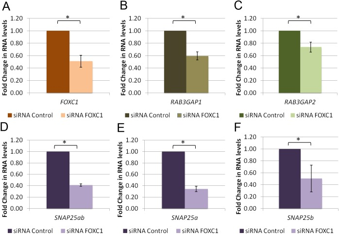FOXC1 knockdown decreases RNA levels of RAB3GAP1 , RAB3GAP2 and SNAP25 . qRT-PCR experiments using RNA isolated from HeLa cells transfected with scrambled siRNA. qPCR was used to evaluate changes in RNA levels of A) FOXC1 B) RAB3GAP1 C) RAB3GAP2 , D) Total SNAP25 ( SNAP25ab ) E) SNAP25 isoform a ( SNAP25a ), F) SNAP25 isoform b ( SNAP25b ) and HPRT1 (housekeeping gene control). Fold change in RNA levels was calculated using the ΔΔCt method normalized to HPRT1 and scaled to siRNA scrambled control. Experiments were performed three times in triplicate. Error bars represent standard error. * P ˂0.05.