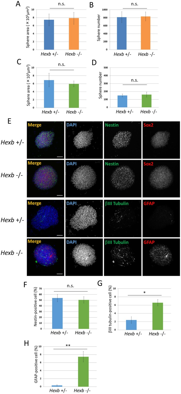 Characterization of NSCs derived from the fetal brain of the mouse SD model. (A−D) Characterization of neurospheres isolated from cerebral cortices of Hexb +/− and Hexb −/− mice at embryonic day 12.5. For each sample, 20 images of different fields (1.3 × 1.8 mm) were photographed, and the areas (A, C) and numbers (B, D) of primary (A, B) and secondary (C, D) neurospheres cultured for 4 days were measured. (E−H) Expression pattern of primary neurospheres isolated from cerebral cortices at embryonic day 12.5 of Hexb +/− and Hexb −/− mice. (E) Primary neurospheres were collected on poly-L-ornithine/fibronectin-coated glass slides by cytospin centrifugation, fixed, and immunostained for nestin (green), Sox2 (red), βIII tubulin (green), and GFAP (red). Blue represents DAPI staining. The scale bar indicates 100 μm. (F−H) Primary neurospheres were dissociated mechanically to single-cell suspensions. Cells were plated onto poly-L-ornithine/fibronectin-coated glass coverslips. One hour after plating, cells were fixed and immunostained for nestin, βIII tubulin, and GFAP with DAPI nuclear staining. For each sample, 20 fluorescence images of different fields (1.3 × 1.8 mm) were obtained. The percentages of positive cells (% of total DAPI count) were then determined using ImageJ (National Institutes of Health, Bethesda, MD). The percentages of NSCs (F), neurons (G), and astrocytes (H) were measured. Values represent the mean ± S.E. of five independent experiments. n.s.: Not significantly different ( P > 0.05), * P