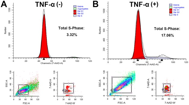 Proportions of cells in S phase increased after TNF-α stimulation. Primary cells of the ossified ligamentum flavum were cultured in the absence of TNF-α (A) or presence of TNF-α (B). Flow cytometry assay were used to examine the cell cycle. The proportions of cells in S phase of cell cycle increased up to 17.06% after TNF-α stimulation.
