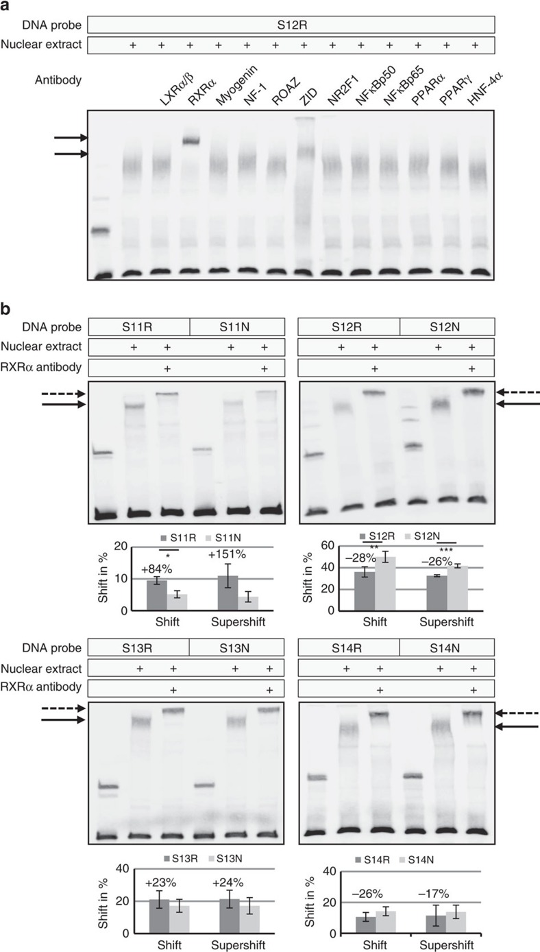 Allele-specific transcription factor binding. ( a ) Supershift assays with DNA fragments containing the risk sequence of rs11638944 (S12R), nuclear extracts from human trabecular meshwork cells, and specific antibodies against candidate transcription factors liver X receptor (LXR)α/ß, retinoid X receptor (RXR)α, myogenin, nuclear factor (NF)-1, Roaz, zinc finger protein with interaction domain (ZID), nuclear receptor subfamiliy 2 group F member 1 (NR2F1), nuclear factor (NF)κBp50, NFκBp65, peroxisome proliferator-activated receptor (PPAR)α, PPARγ, and hepatocyte nuclear factor 4 (HNF-4)α showed supershifted bands (arrows) with RXRα and ZID antibodies. ( b ) Supershift assays with a specific antibody against RXRα disrupted the DNA–protein complexes (solid arrows) to produce distinct supershifted bands (dotted arrows) in a differential manner between DNA fragments containing the risk (R) alleles and fragments containing the non-risk (N) alleles. Quantitative analyses of the (super)shifted bands relative to the unshifted bands show mean values±s.d. of five independent experiments (* P