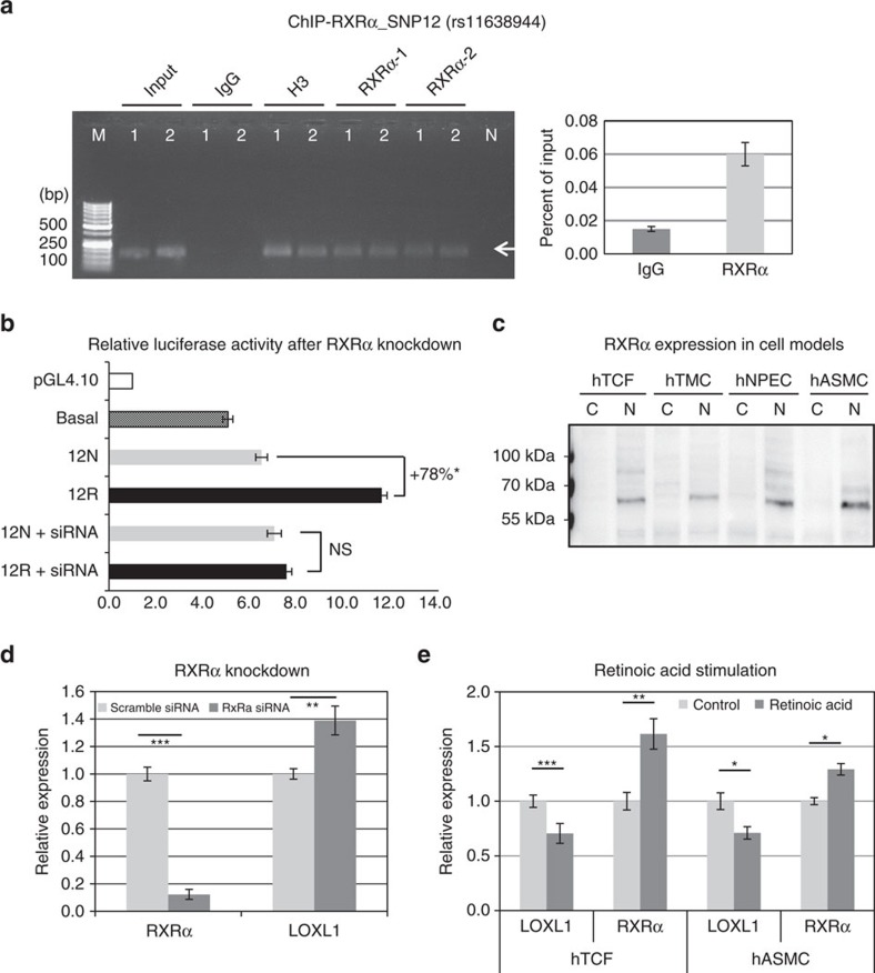 RXRα influences LOXL1 expression by functioning as a transcriptional repressor. ( a ) ChIP assay for RXRα binding at rs11638944 (SNP12)-containing region of LOXL1 in heterozygous hTCF cell lines ( n =2) using two different antibodies against RXRα (1: D-20, 2: F-1), histone H3 (positive control) and non-immune IgG (negative control); input represents total chromatin applied for immunoprecipitation. DNA isolated from immunoprecipitated complexes was analysed on 2% agarose gel (left) and by qPCR (right) with primers specific for the SNP12 region producing a 148 bp PCR fragment (arrow). Data are expressed as per cent of input (Lane 1: hTCF 1, lane 2: hTCF 2, lane M: DNA marker, lane N: primer control without chromatin). ( b ) Dual luciferase reporter assays using reporter plasmids containing risk (12R) and non-risk (12N) genotypes of SNP 12 alone or co-transfected with RXRα-specific siRNA in human Tenon's capsule fibroblasts (hTCF) compared with the basal LOXL1 promoter activity. Results are expressed as the ratio of Firefly luciferase to Renilla luciferase; the transcriptional activity of the empty pGL4.10 vector was set at 100% (data represent mean values±s.d. of three independent experiments; * P