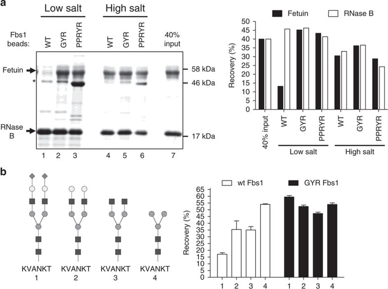 Fbs1 GYR and PPRYR variants display reduced binding bias between high-mannose and complex N-glycans. ( a ) Comparison of N-glycoprotein pulldown by wt Fbs1, Fbs1 GYR and PPRYR variant proteins. A mixture of denatured RNase B and fetuin was subjected to an Fbs1 pulldown assay with wt, GYR and PPRYR Fbs1 beads in low salt (50 mM ammonium acetate, pH7.5) and high salt (2M ammonium acetate, pH7.5). All three Fbs1 bead types were conjugated with the same amount of the respective Fbs1 protein ( Supplementary Fig. 1 ). Left panel is the SDS–PAGE gel showing the bound (Lanes 1–6) and input ratio (Lane 7) of RNase B and fetuin. An asterisk denotes the SNAP-Fbs1 protein leaching from the Fbs1 beads. Right panel shows the recovery percentage (bound protein amount/input protein amount) of each substrate glycoprotein using the different conditions. A representative SDS–PAGE gel is shown from two experiments. ( b ) Fbs1 GYR variant binding to a diverse set of N-glycopeptides is substantially unbiased. The experiment in Fig. 1d was repeated using Fbs1 GYR beads. The data shown in Fig. 1d are presented in this figure to facilitate the comparison between wt Fbs1 and Fbs1 GYR. N-glycans of SGP-TMR (1) were trimmed with different combinations of exoglycosidases to produce asialo-SGP-TMR (2), SGP-TMR without sialic acids and galactose (3) and SGP-TMR without sialic acids, galactose and GlcNAc (4). Identities of the trimmed SGP-TMR derivatives were confirmed by LC-MS. The trimmed glycopeptides were then added to binding assays with wt Fbs1 or Fbs1 GYR beads in 50 mM ammonium acetate pH7.5. The relative binding affinity to wt Fbs1 or Fbs1 GYR is reported as the recovery percentage (TMR fluorescence on beads/input TMR fluorescence). For simplicity, TMR is not shown in the N-glycopeptide structures (1–4). Results represent the mean±s.e.m. of three replicates.