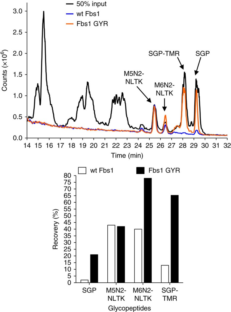 The Fbs1 GYR variant substantially improves N-glycopeptide enrichment. The total ion chromatogram (TIC) (upper panel) from an LC-MS analysis shows wt Fbs1 or Fbs1 GYR-mediated binding and enrichment of N-glycopeptides from a complex peptide mixture. The complex peptide mixture is a tryptic digest of RNase B spiked with SGP and SGP-TMR. RNaseB contains non-glycosylated peptides and two major high-mannose N-glycopeptides labelled in the enlargement as: M5N2-NLTK and M6N2-NLTK. M5N2 or M6N2 indicates 5 or 6 mannose residues and 2 GlcNAc residues, respectively. NLTK is the peptide sequence of the N-glycopeptide produced by trypsin treatment of RNase B. The enrichment was performed in low salt (50 mM ammonium acetate, pH7.5). The black line indicates the chromatogram of a 50% input mixture. The orange and blue lines indicate the chromatograms of Fbs1 GYR and wt Fbs1 enrichment samples. The major N-glycopeptide peaks (M5N2-NLTK, M6N2-NLTK, SGP and SGP-TMR) are indicated. N-glycopeptides were quantified from the extracted ion chromatogram of the LC-MS analysis. The ions with the correct monoisotopic m/z values, that is, M5N2-NLTK:1691.98 1- (theoretical, 1691.72 1- ), M6N2-NLTK: 1854.07 1- (theoretical,1853.72 1- ) and SGP: 1433.47 2- (theoretical, 1433.10 2- ) were extracted, integrated and quantified. The amount of SGP-TMR was determined by fluorescence measurement of the LC elution. Recovery of each N-glycopeptide (enriched peptide amount/input peptide amount) is shown as a bar graph (lower panel). A representative TIC profile is shown from three experiments.
