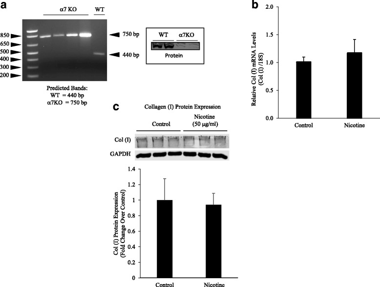 Nicotine acts through <t>α7</t> nAChRs. a The absence of α7 <t>nAChR</t> was verified by mRNA and protein expression in the α7KO mice. b α7KO fibroblasts were exposed to nicotine for 24 h and PCR run for collagen type I mRNA expression. Nicotine failed to stimulate collagen type I mRNA expression in α7KO cells. c Nicotine-treated α7KO fibroblasts were subjected to Western blot analysis using anti-collagen type I antibody or GAPDH, followed by secondary goat anti-rabbit IgG (IRDye®). Protein bands were separated by native (collagen type 1) or SDS-PAGE (GAPDH) gel electrophoresis (8%) and quantified by densitometry. Nicotine did not stimulate increased collagen deposition in α7KO fibroblasts. Experiments were repeated at least 3 times. Significance was assessed using p values