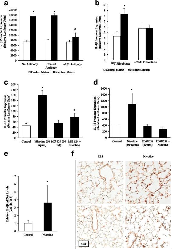 Matrices Derived from Nicotine-treated Fibroblasts and Mice Stimulate IL-1β Expression in Monocytic Cells. a Lung fibroblasts (5x10 4 cells/12 well) were treated with nicotine (50 μg/ml) for 120 h. Fibroblasts were removed by osmotic lysis, the plates were washed thoroughly, and human monocytic U937 cells expressing the human interleukin-1β gene promoter connected to a luciferase reporter gene were overlaid atop the fibroblast-derived matrix. Afterwards, expression of the IL-1β promoter was analyzed by luciferase assay. We found that collagen-containing matrices derived from nicotine-treated fibroblasts stimulated monocytic cells to express the pro-inflammatory cytokine IL-1β. Furthermore, nicotine-treated fibroblast matrix induction of IL-1β was inhibited by anti-α2β1 integrin antibodies. b IL-1β gene transcription was not increased in U937 cells cultured on matrices derived from nicotine-treated α7 nAChR deficient primary lung fibroblast matrix over control. c Fibroblasts pretreated with MG 624, an α7 nAChR antagonist (10 μM), concurrently with nicotine inhibited IL-1β expression without affecting baseline expression. d The nicotine-treated fibroblast matrix IL-1β induction was inhibited by MEK-1 inhibitor PD98059 (50 μM), with PD98059 alone bringing IL-1β expression below baseline. e The lungs of mice exposed to nicotine (100 μg/ml in the drinking water for 8 weeks) were isolated for RNA analysis, which showed an increase in IL-1β gene transcription by RT-PCR. f Lungs from control and nicotine-treated mice were stained by immunohistochemistry for IL-1β. Increased staining was present in mice treated with nicotine. Experiments were repeated at least 3 times. Significance was assessed using p values