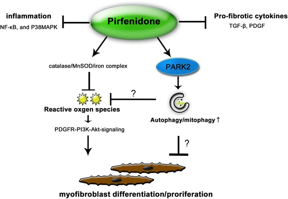 Hypothetical model of the anti-fibrotic mechanisms of PFD. PFD has previously reported anti-fibrotic mechanisms, including anti-inflammation, anti-pro-fibrotic cytokines, and anti-oxidative properties. Now PARK2-mediated autophay/mitophgy can be included in the anti-fibrotic properties of PFD. Although detailed mechanism remains elusive, PFD attenuates lung fibrosis seen during insufficient mitophagy through regulation of PDGFR-PI3K-Akt signaling by inhibiting mitochondrial ROS production