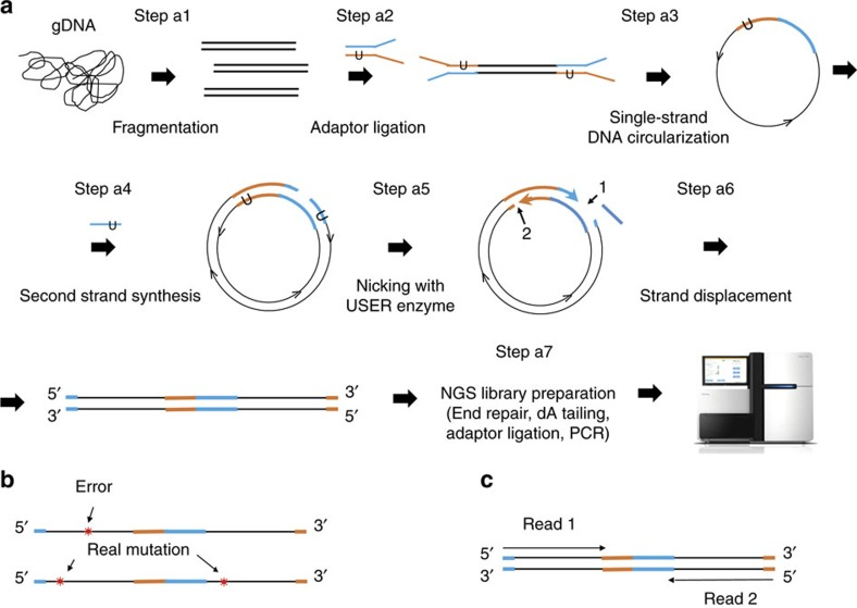 Overview of o2n-seq. ( a ) O2n-seq workflow. gDNA is sheared into fragments shorter than half the length of the sequencing read (for example, if we sequence reads with PE 125, the length of fragments should shorter than 125 bp) and ligated with Y-shaped adaptors (blue and orange lines) with candidate nicking sites (such as dUTP), then denatured into single-stranded DNA molecules that are circularized using single-stranded DNA ligase. After eliminating linear DNA using DNA exonucleases, the circularized single-stranded DNA is employed for second-strand synthesis. Next, the double-stranded circular DNA is nicked with the USER enzyme and subjected to strand displacement amplification. The purified, strand displacement-amplified DNA can be used to prepare a standard NGS library. The arrows represent the direction of DNA (5′→3′). ( b ) Remove errors. If a variant (red star) is support by only one DNA copy, an error must have occurred at the site, and this type of site is discarded in the following data analysis procedure. However, if a variant is supported by both DNA copies, it is treated as a true variation. ( c ) Using a PE sequencing strategy to sequence o2n-seq reads. Read 1 and Read 2 are sequencing reads of one PE read.