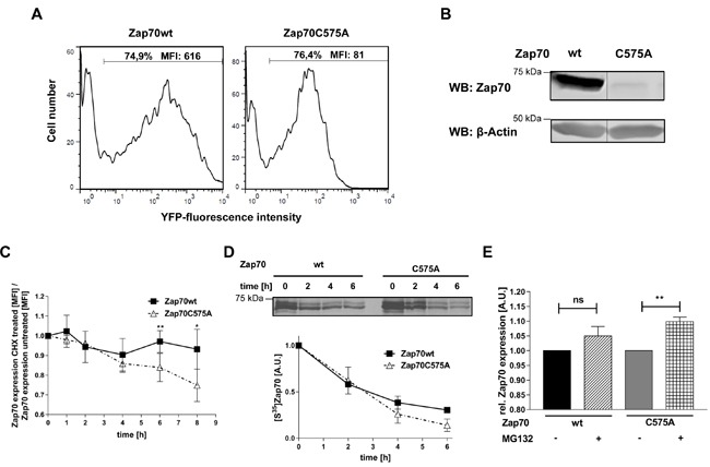 Analysis of protein stability of Zap70C575A A . Representative histograms of the expression of Zap70 wt and C575A. P116 cells were transfected with YFP-tagged Zap70wt or C575A. Transfection efficiency was determined by gating on YFP + cells. B . Zap70wt or C575A expressing P116 cells were lysed and subjected to immunoblot analysis with an antibody against human Zap70. C . P116 cells reconstituted with either Zap70wt-YFP or C575A-YFP were either left untreated or treated with 20μg/mL cycloheximide for different time points up to 8h. Zap70 protein expression was measured by flow cytometry. The values of wt and mutant Zap70-YFP MFI were normalized to the respective untreated control samples for each time point followed by normalization to the 0h time point which was set to 1 for both wt and mutant Zap70 ( n = 3). D . HEK293T cells were transfected with Zap70-Myc-DDK or C575A-Myc-DDK. After starvation of cysteine and methionine, cells were pulsed with [S35]methionine/cysteine for 15min, followed by chase up to 6h. Subsequently, cells were lysed and Zap70 was immunoprecipitated using anti-FLAG antibody. Samples were separated using SDS-PAGE and signals were detected by autoradiography and quantified by densitometry ( n = 2). E . Zap70wt-YFP of C575A-YFP expressing P116 cells were either treated with 20mM MG132 (+MG132) or DMSO (-MG132) for 4h. Subsequently, protein expression was measured by flow cytometry. YFP MFI values of wt and mutant Zap70 were normalized to the respective untreated control samples which were set to 1 ( n = 4).