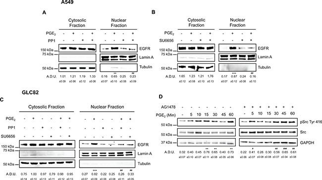 SRC family kinases play a pivotal role in PGE 2 induced EGFR nuclear translocation Immunoblotting analysis of EGFR expression in cytosolic and nuclear fraction in A549 ( A , B ) and GLC82 ( C ) exposed for 60 min to 1 μM PGE 2 with or without 10 μM PP1 or SU6656. Tubulin and Lamin A were used as loading control for cytosolic and nuclear fraction respectively. Immunoblotting quantification was expressed in A.D.U. (arbitrary density unit) and as mean ± SEM. ** p