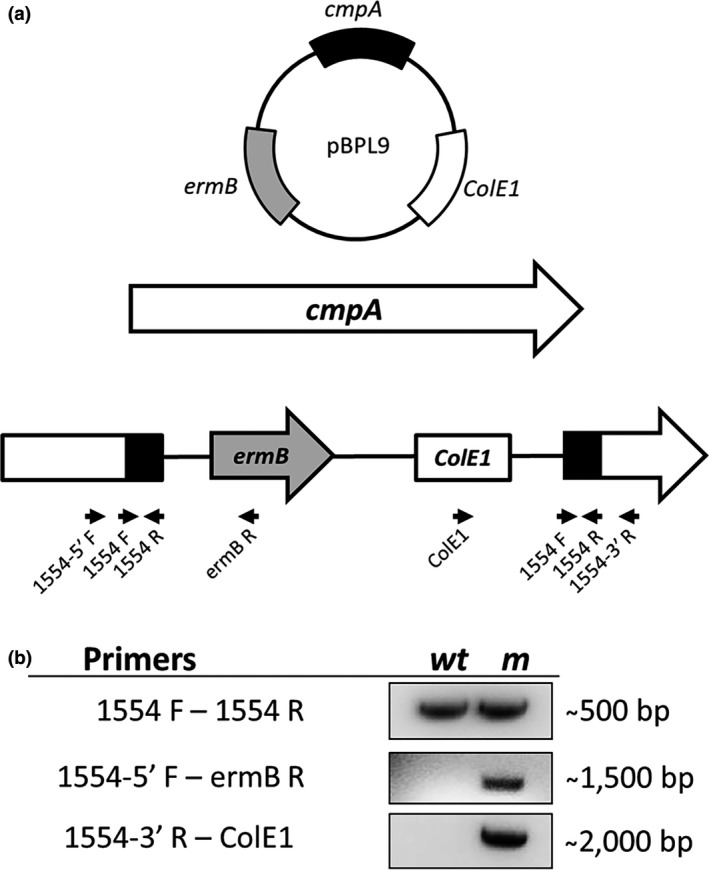 (a) Fusobacterium nucleatum radD cmpA double mutant (strain BL 83) was constructed by insertion of the inactivation plasmid pBPL 9 into cmpA (Fn1554) in a radD::catP mutant background. Black arrows indicate the location of primers used for mutant construction and analysis. (b) Confirmation of plasmid insertion into cmpA by PCR analysis of the cmpA mutant (m) with wild‐type (WT) as the control
