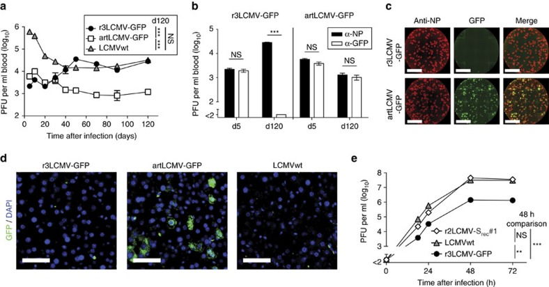 Stable transgene expression and attenuation of artLCMV in vivo. ( a – d ) Viremia of AGRAG mice infected with r3LCMV-GFP ( n =7), artLCMV-GFP ( n =7) or LCMVwt ( n =3, a , d ). Symbols show the mean±s.e.m. N =2. Blood samples obtained on d5 and d120 were processed for NP-IFF and GFP-IFF ( b ). Bars represent the mean±s.e.m. of seven mice. N =2. Representative NP-IFF and GFP-IFF analyses of d150 serum ( c , scale bar, 0.5 cm). Representative liver sections analysed for GFP + cells on d150 ( d , scale bar, 50 μm). ( e ) Growth kinetics of LCMVwt, r3LCMV-GFP and r2LCMV-S rec #1 on BHK-21 cells (compare Supplementary Fig. 2e ). Symbols represent the mean of three replicates (s.e.m. error bars hidden in the symbol size). N =2. Data in a (120 days after infection) and e (48 h after infection) were analysed by one-way ANOVA with Bonferroni post hoc test. Data in b were analysed by unpaired two-tailed Student's t -test. NS, not significant; ** P