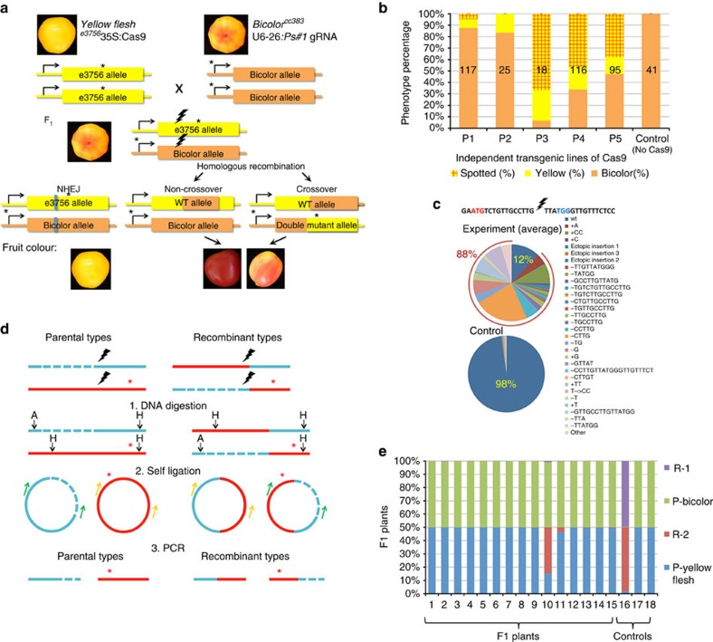 Tomato fruit colour DSB repair assay. ( a ) Crossing yellow flesh e 3756 35S:Cas9 and bicolor cc383 u6-26:Ps#1-sgRNA gives F 1 plants with a pale Bicolour fruit phenotype. F 1 plants expressing both Cas9 and gRNA were selected. The gRNA was designed for DSB induction (black lightning) in both alleles between the yellow flesh e 3756 and bicolor cc383 mutations (*). In case of error-prone NHEJ repair (blue line) of bicolor cc383 , fruit colour is yellow. In cases of non-crossover or crossover, fruit colour is expected to be red or bicolour or yellow with red spots in case of late event. Note that whole red fruits were not obtained. Rather, fruits with red spots in a yellow or bicolour background were found and are shown together with additional products of HR-induced repair in Supplementary Fig. 1 . ( b ) Fruit phenotype distribution in F 1 plants and control: Bicolour fruits are shown as orange boxes; Yellow fruits as yellow; Fruits with red sectors (putative somatic HR) are shown as red-stripped boxes. Each column represents a fruit population derived from cross of independent transgenic lines of Cas9 and a given u6-26:Ps#1-sgRNA line. The number of fruits analysed is shown on the column in black. ( c ) Sequences of the NHEJ DSB repair footprints and their relative frequency are shown. The CRISPR-Cas target sequence from the PSY1 is shown on the top. The PSY1 start codon is shown in red and the PAM in blue. The top pie represents an average of illumina Hiseq reads from 22 different F 1 plants of the cross of yellow flesh e 3756 35S:Cas9 × bicolor cc383 u6-26:Ps#1-sgRNA. The low pie represents an average of ilummina Hiseq reads from two plants of control F 1 population ( yellow flesh e 3756 × bicolor cc383 F 1 plants with no CRISPR-Cas). ( d ) Inverse PCR scheme for identification of recombinant DNA fragments (details in Supplementary Fig. 4 ). (1) DNA from separate leaves was digested with ApaI(A) and HindIII(H) and then blunted. (2) Each sample was self-ligated, and (3) amplified by two different primer sets (green and yellow). Blue- Bicolor ; red- Yellow flesh ; Dashed blue line- Bicolor deletion, *- Yellow flesh mutation. ( e ) Ratio of parental (P) versus recombinant (R) types (obtained from panel C) in individual plants. Plants 1–15- F 1 plants of the cross of yellow flesh e 3756 35S:Cas9 × bicolor cc383 u6-26:Ps#1-sgRNA; Plant 16- synthetic crossover control; Plants17–18-Yellow flesh × Bicolor (Cas9-) F 1 plants.