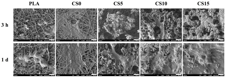 SEM images of hMSCs adhered on CS/CH-coated PLA mats for 3 h and one day.