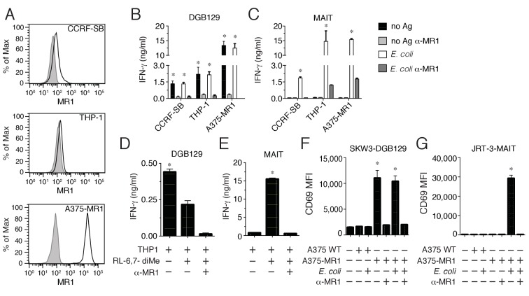 Recognition of non-microbial antigens by MR1-restricted T cells. ( A ) Surface expression of MR1 by CCRFSB, THP-1 and A375-MR1 cells. Grey histograms indicate staining with isotype-matched control mAbs. Stimulation of ( B ) T cell clone DGB129 or ( C ) MAIT cell clone SMC3 by the three cell lines in A in the absence (no Ag) or presence of E. coli lysate ( E. coli ) and/or anti-MR1 blocking mAbs (α-MR1). Columns indicate IFN-γ release (mean + SD). Stimulation of ( D ) DGB129 MR1T or ( E ) SMC3 MAIT cells by THP-1 cells, constitutively expressing surface MR1, loaded with synthetic 6,7-dimethyl-8-D-ribityllumazine (RL-6,7-diMe) with or without anti-MR1 mAbs. Columns indicate mean IFN-γ release + SD. Stimulation of ( F ) SKW-3 cells expressing the DGB129 TCR (SKW3-DGB129) or ( G ) J.RT3-T3.5 cells expressing the MAIT MRC25 clone TCR (J.RT3-MAIT) with A375 cells that expressed (A375-MR1) or lacked (A375-WT) MR1, with or without E. coli lysate and/or anti-MR1 mAbs. CD69 median fluorescence intensity (MFI) ± SD of duplicate cultures of transduced T cells are shown. The CD69 MFI of transduced T cells cultured in the absence of APCs is also shown. Data are representative of four ( A, B and C ), two ( D and E ), and three ( F and G ) independent experiments. *p