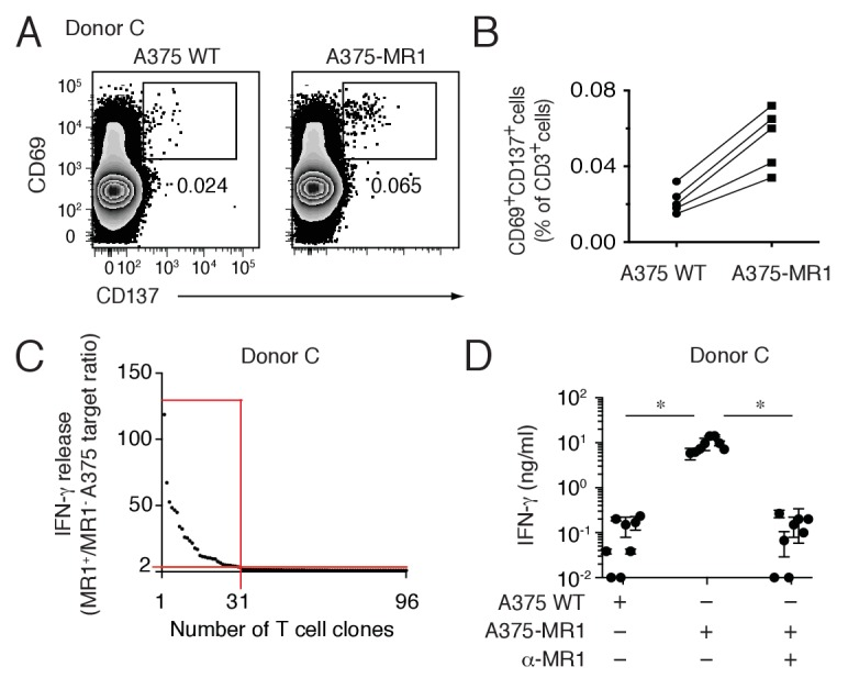 Non-MAIT MR1-restricted T cells are readily detectable in the blood of healthy individuals. ( A ) Flow cytometry analysis of purified T cells from a representative donor (Donor C) after overnight co-culture with A375 WT or A375-MR1 cells. Dot plots show CD69 and CD137 expression on live CD3 + cells. Numbers indicate the percentage of cells in the gates. ( B ) Frequency of CD69 + CD137 + T cells from five different donors after overnight co-culture with A375 WT or A375-MR1 cells. ( C ) Cumulative results of T cell clone stimulation assays from Donor C. T cell clones were generated from CD3 + CD69 + CD137 + sorted T cells as depicted in A, right dot plot. The graph shows the number of tested clones (x axis) and IFN-γ release (y axis) expressed as ratio between the amount of cytokine secreted in response to A375-MR1 cells vs. A375-WT cells. Each dot represents a single T cell clone, tested at the same time in the indicated experimental conditions. The horizontal red line marks the arbitrary IFN-γ ratio threshold of two above which MR1-dependent T cell clone reactivity was set. The intercept of the vertical red line indicates the number of MR1-restricted T cell clones. Red box highlights T cell clones whose reactivity was MR1-dependent. Results are representative of two independent experiments. ( D ) Recognition of A375-MR1 but not A375 WT cells in the absence of exogenous antigens by eight representative MR1-restricted T cell clones from Donor C. Inhibition of T cell clone reactivity to A375-MR1 cells by blocking anti-MR1 mAbs (α-MR1). Dots represent the IFN-γ release (mean ± SD of duplicate cultures) by each clone tested in the three experimental conditions. Results are representative of three independent experiments. *p