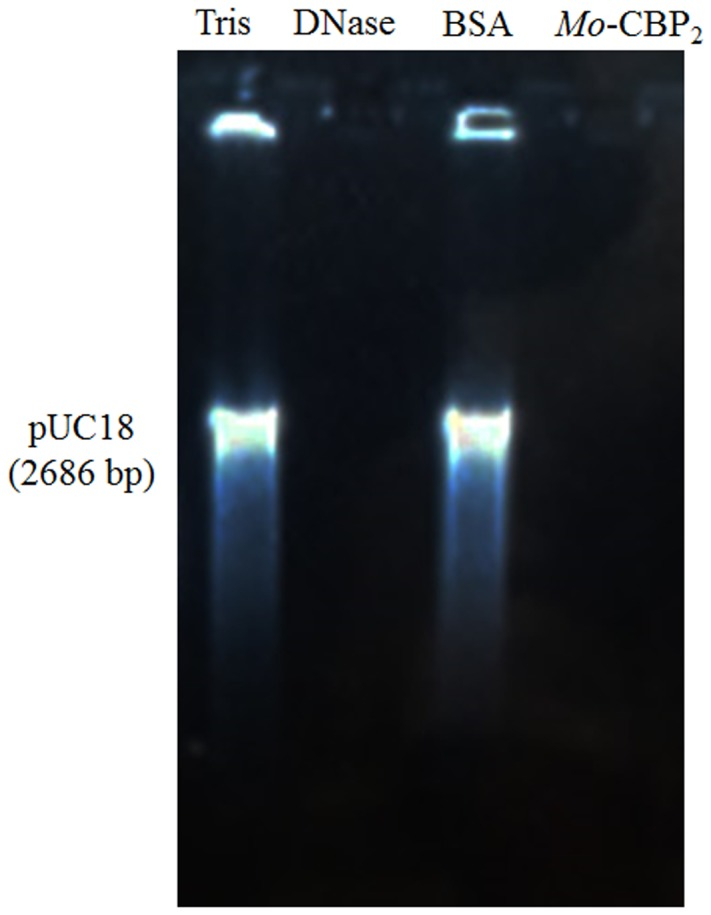 DNase activity of Mo -CBP 2. The pUC18 plasmid (500.0 ng) of E. coli was incubated with Mo -CBP 2 (500.0 ng); BSA (500.0 ng) and 0.05 M Tris-HCl buffer, pH 7.4 (negative controls); and the recombinant <t>DNase</t> I (2 units, positive control) for 1 h and loaded in 1% (m/mL) agarose gel electrophoresis. Gel was stained with ethidium bromide and observed under UV light.